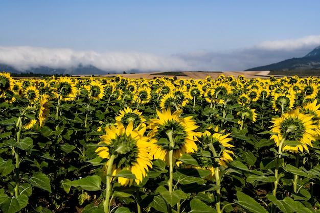 Славное поле подсолнухов в солнечный день. алава, страна басков, испания