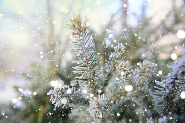 背景としてクリスマス常緑の枝。