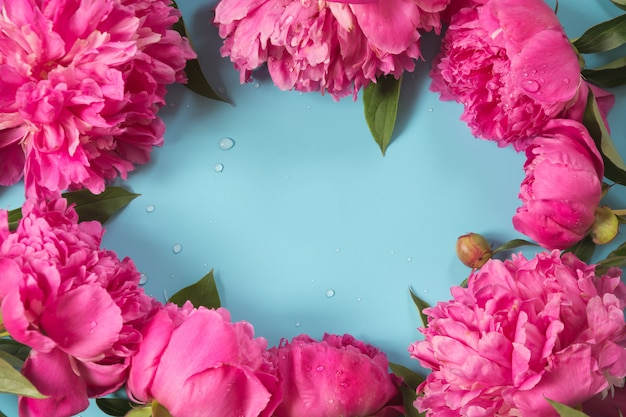 Красивые розовые цветы пиона как рамка на пробивной пастельной синей предпосылке