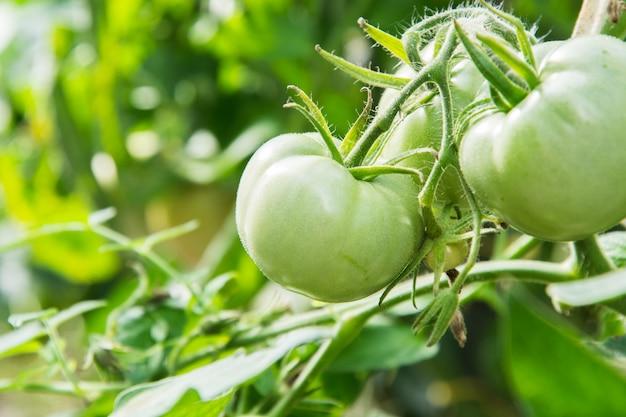 Зеленые помидоры на ветке созревает в теплице. лето.
