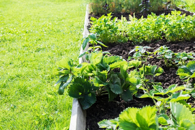 イチゴ、野菜、緑の庭のベッド。園芸。夏の趣味。閉じる。