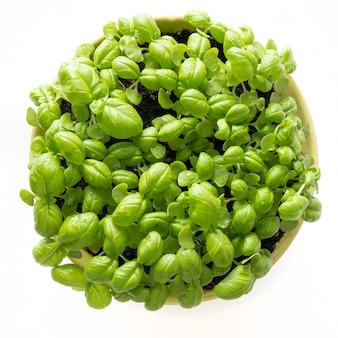 白の鍋で発芽バジル種子マイクログリーン。上面図。家庭での種子発芽。