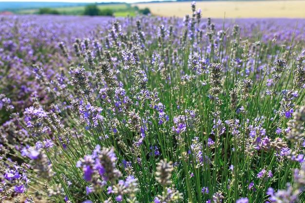 Большое яркое красивое поле со свежей лавандой, лавандовое поле