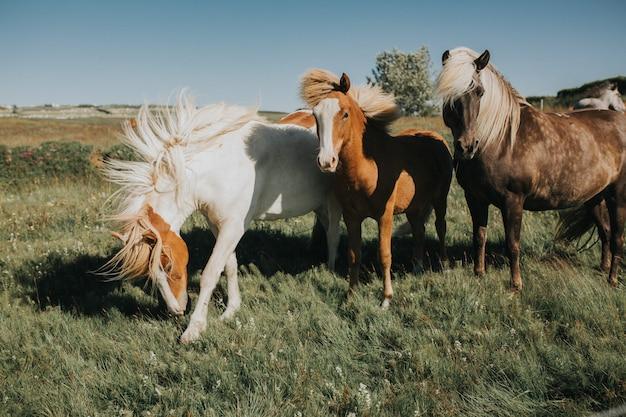 アイスランドの美しい金髪馬、ポニー、横顔ショット