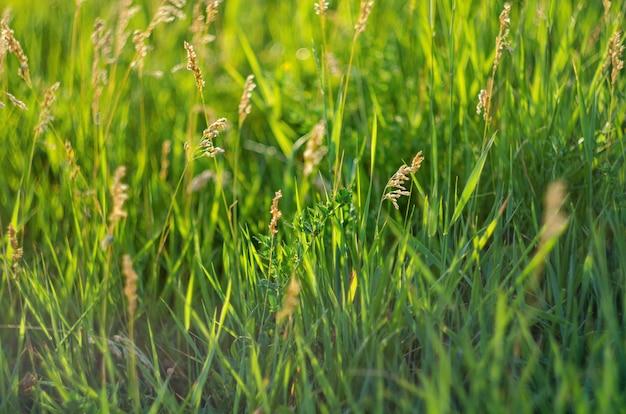 夏、選択と集中、浅い被写し界深度の牧草地に緑のジューシーな草の背景