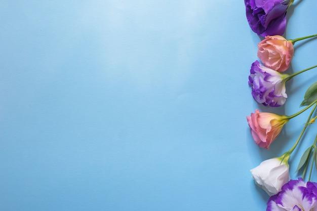 青い背景に、フラットレイアウトの優しい白とピンクのトルコギキョウの花