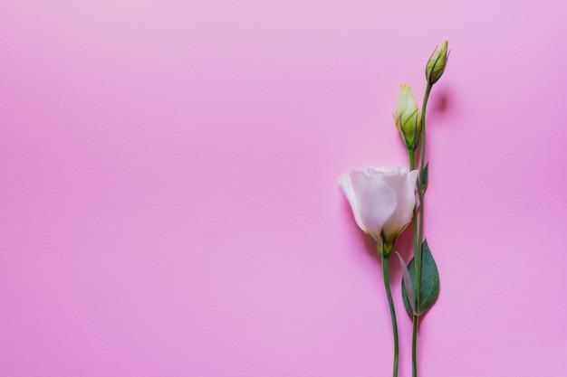 ピンクの背景、フラットに優しい白とピンクのトルコギキョウの花を置く