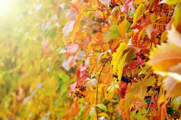 Осеннее фото листьев красного плюща