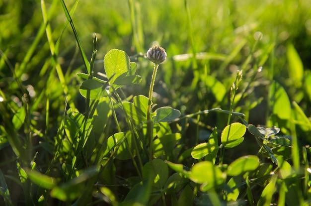 Зеленая трава и одуванчик