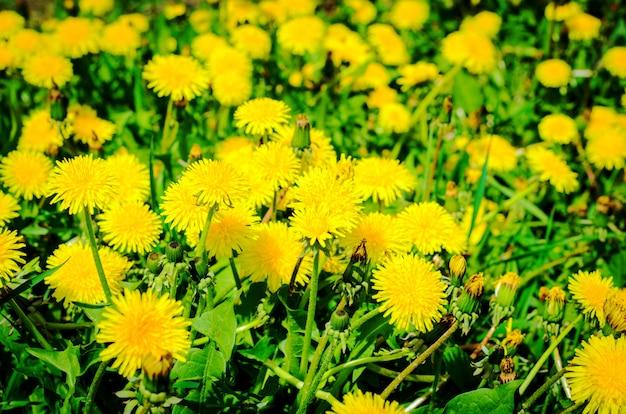 美しい春のタンポポの緑の牧草地