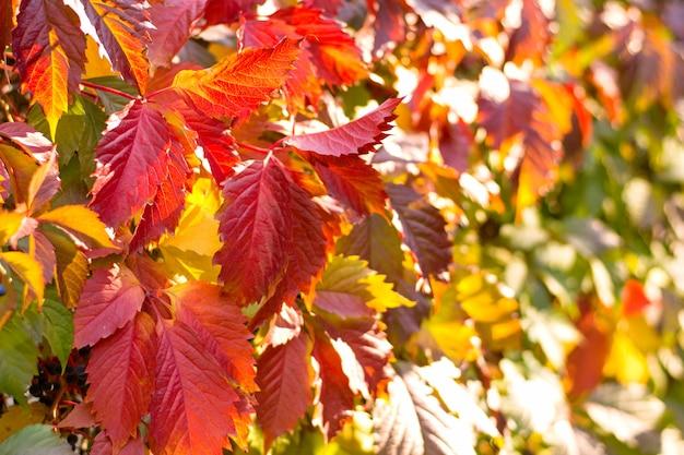 Осенний фон из красных листьев плюща