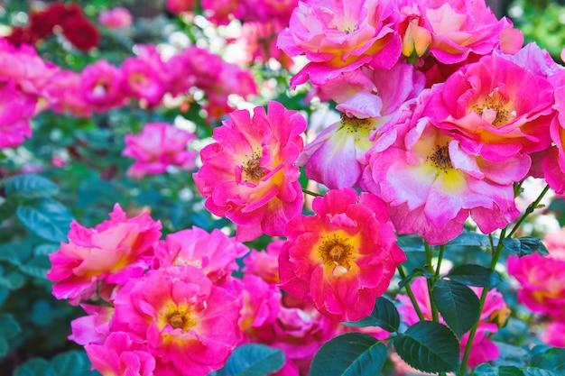 満開の美しいピンクのバラの茂み、バラの花壇