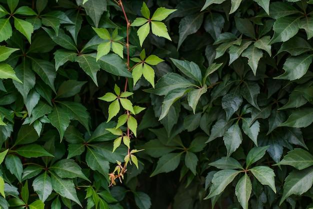 Растение плюща на стене