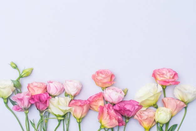 柔らかい白とピンクのトルコギキョウの花