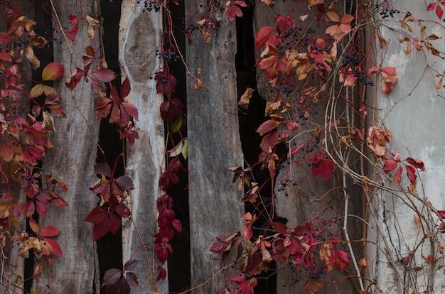 Белая разрушенная гипсовая цементная стена с красными листьями плюща