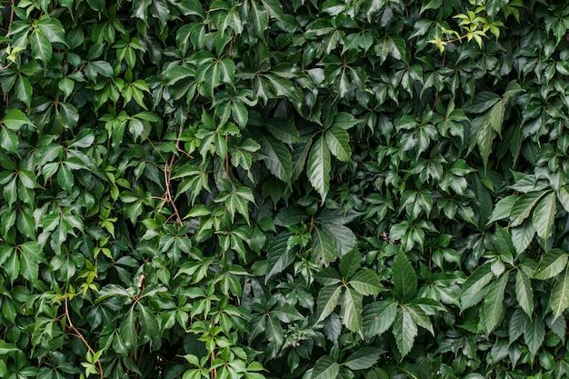 Растение плюща, растущее на стене