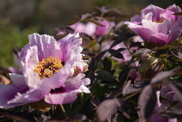 緑の背景に紫の牡丹