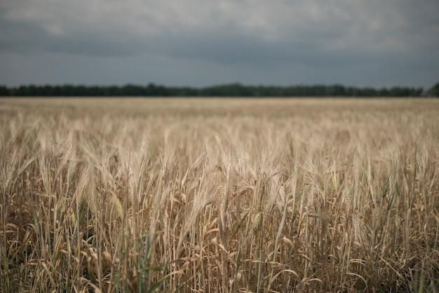 ライ麦畑。太陽と麦畑。ゴールデン小麦の穂のクローズアップ。ライ麦の新鮮な作物