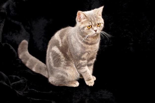 Серый кот с золотыми глазами