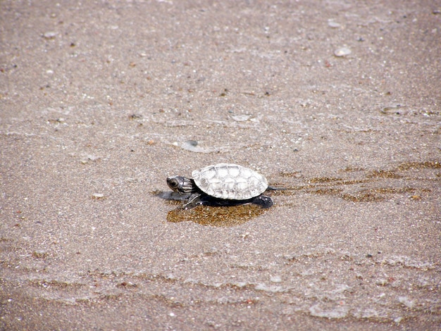 Зеленая морская черепаха гуляет к океану