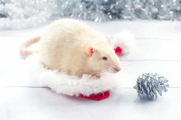 白いネズミはクリスマスキャップから外を見て、