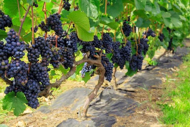 Пучки фиолетового винограда на лозе в винограднике. свежий спелый сочный виноград