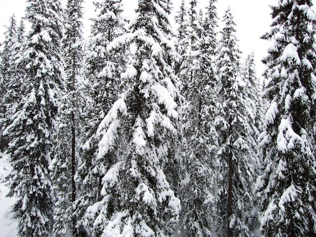 Зимний горный пейзаж и ель покрыты снегом