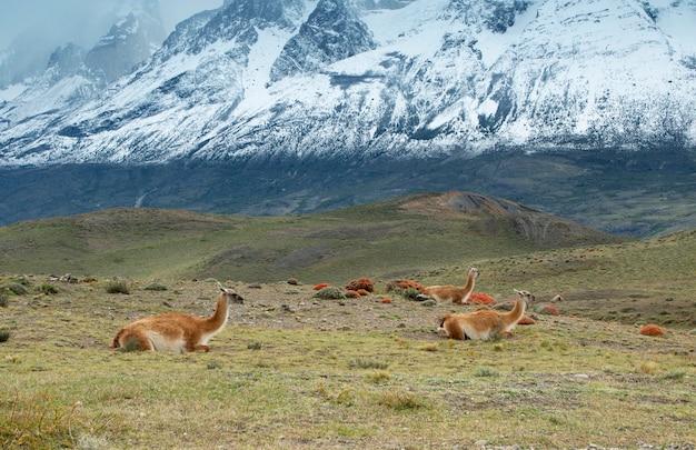グアナコス、トレスデルペイン国立公園、チリで休んで