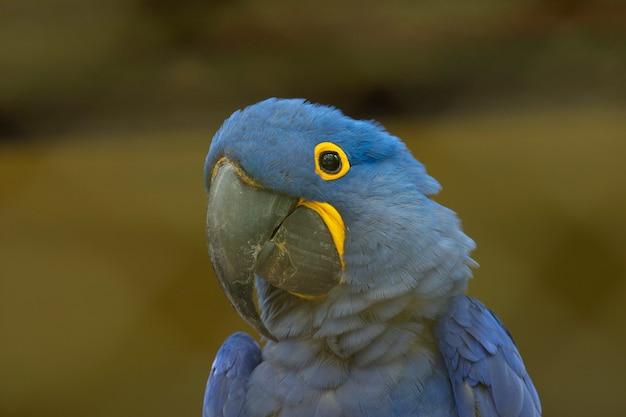 青いコンゴウインコの肖像画