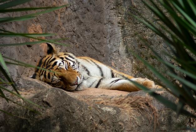 Тигр спит над скалой