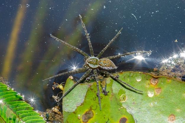 池の水の上に水生クモ