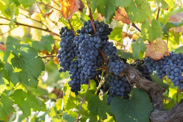プーリアのブドウ園、自然の状態の葉を持つ熟した紫色のブドウは、南イタリア、特にサレントにあります