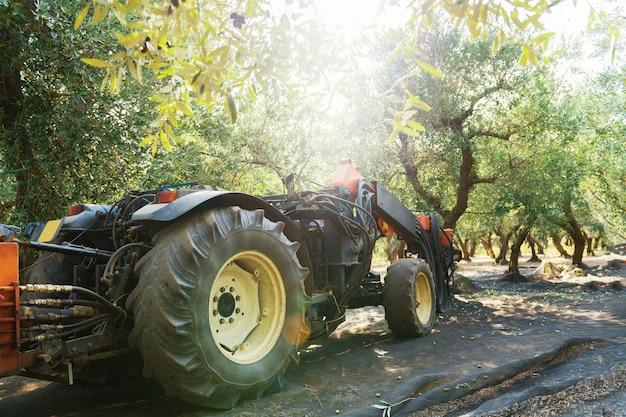 イタリアのプーリア州サレントでのオリーブの収穫。