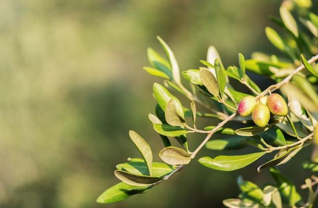 ぼやけた上の緑の若いオリーブとオリーブの束。オリーブの木のグリーンオリーブ。コピースペース