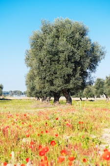咲くポピーと明るい青空とプーリア州のサレントの春のオリーブの木の美しい景色。セレクティブフォーカス
