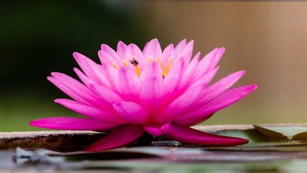 高床式の池に浮かぶ鮮やかな色の睡蓮