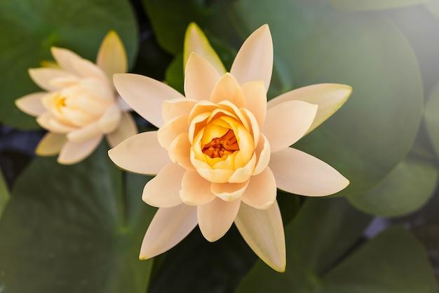 池の緑の葉と美しい白い蓮の花