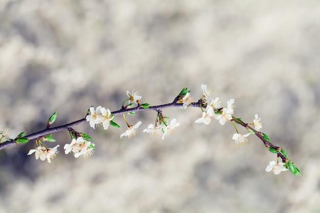 春の日差しの中で桜の白い花
