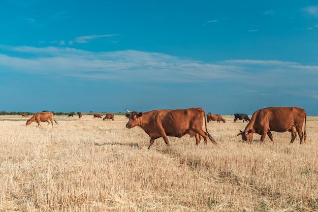 黄色のフィールドと青い空の牛。