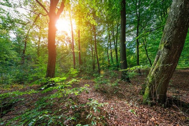美しい朝の春の緑の森