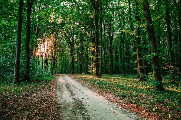 Фон лесных деревьев с солнечным светом