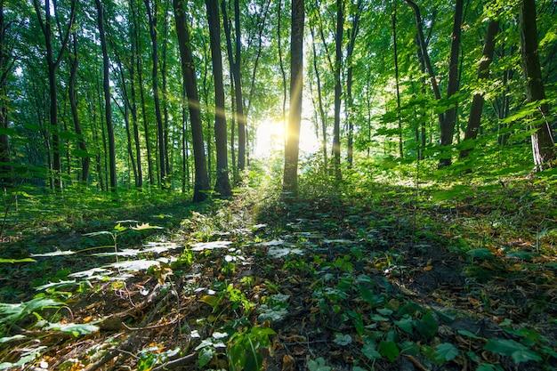Лесные деревья. природа зеленое дерево солнечный свет