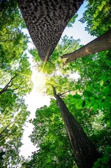 森の木。自然の緑の木の日光