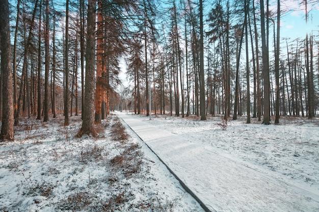 森の木の自然の雪