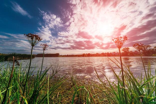 葦と夕暮れの川にウキクサ