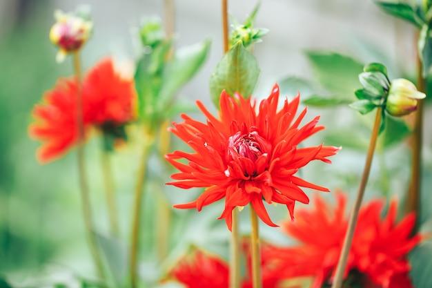 屋外の庭、花のマクロ撮影、春の時間、アスターブルームの美しい赤いアスター。