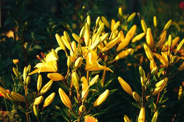 屋外の庭で美しい黄色のユリ、ユリの花、春、自然が咲きます。