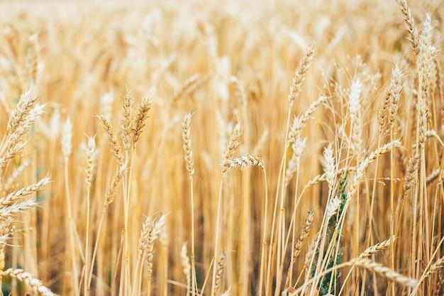 黄色の秋夏の麦畑の耳