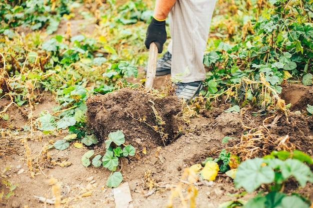 新鮮なジャガイモは農場で地面から掘ります。じゃがいもの収穫