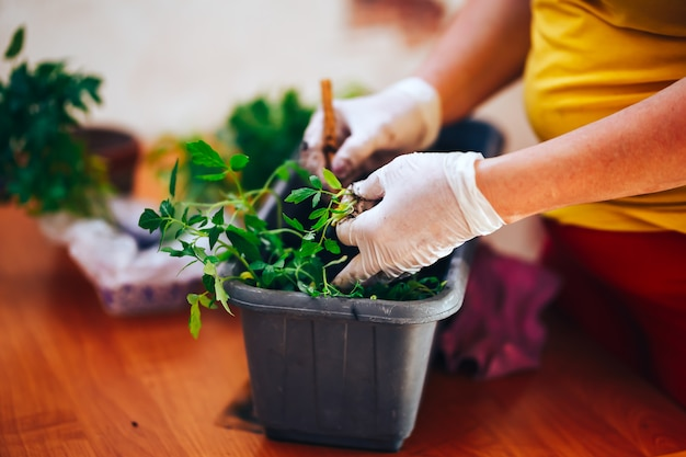 手袋で女性の手が家庭でプラスチックの黒い鍋でトマトの苗を植えます。ポットに苗を移植する